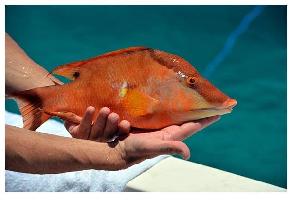 Freshly Caught Hogfish | Where to Eat in Islamorada