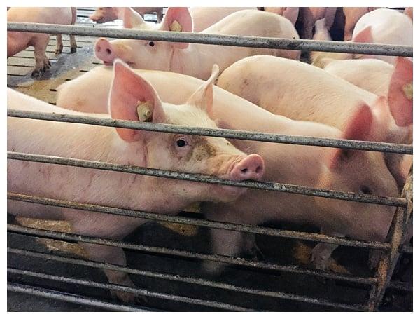 Ohio Pig Farm Visit in Clinton County, Ohio